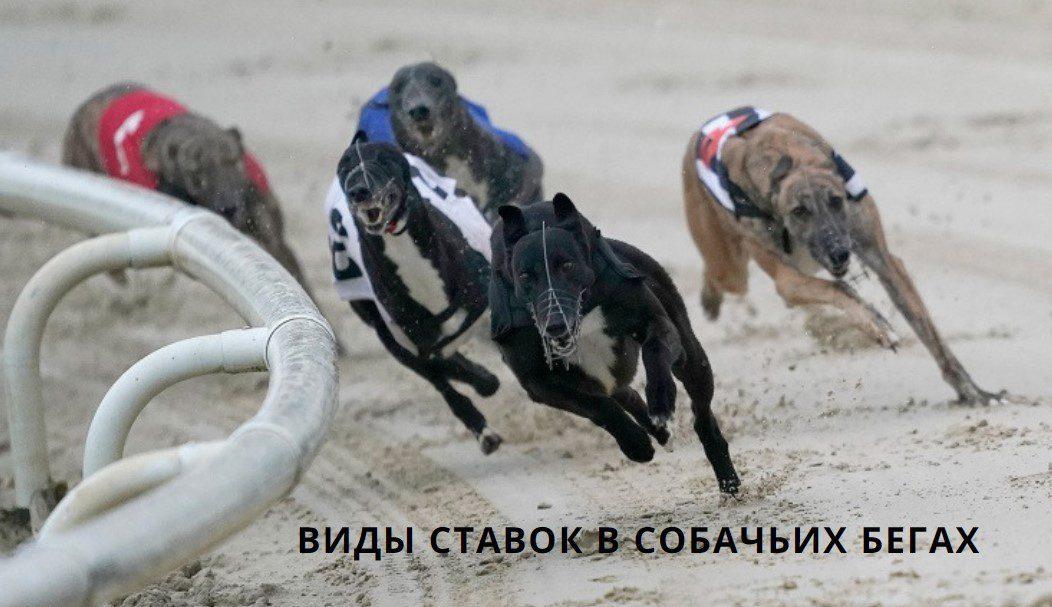 ставки на собачьи бега